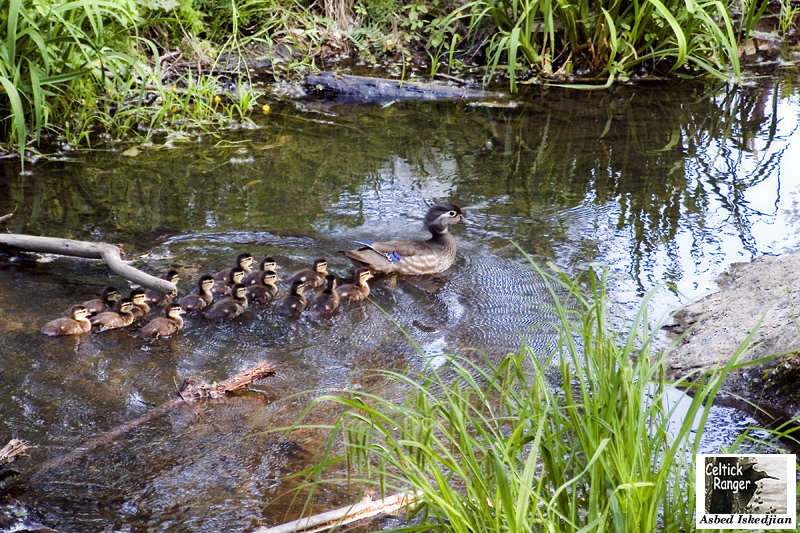 Mommy Wood Duck with ducklings