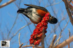 Title: The American Robin