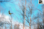 Title: American Goldfinch in-flight