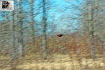 Title: American Robin panning