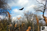 Title: Blackbird silhouette in-flight