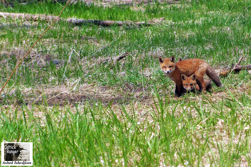 We are 3 Red Fox puppies