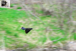 Title: Common Grackle panning flight