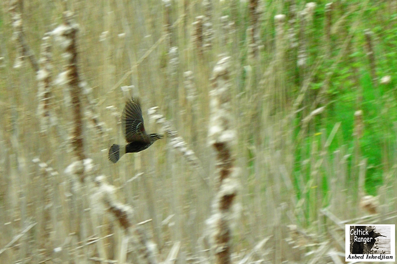 Lady Blackbird in-flight
