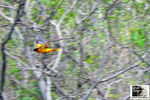 Title: The Baltimore Oriole in-flight
