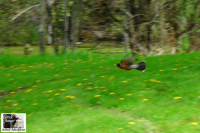 The American Robin in-flight