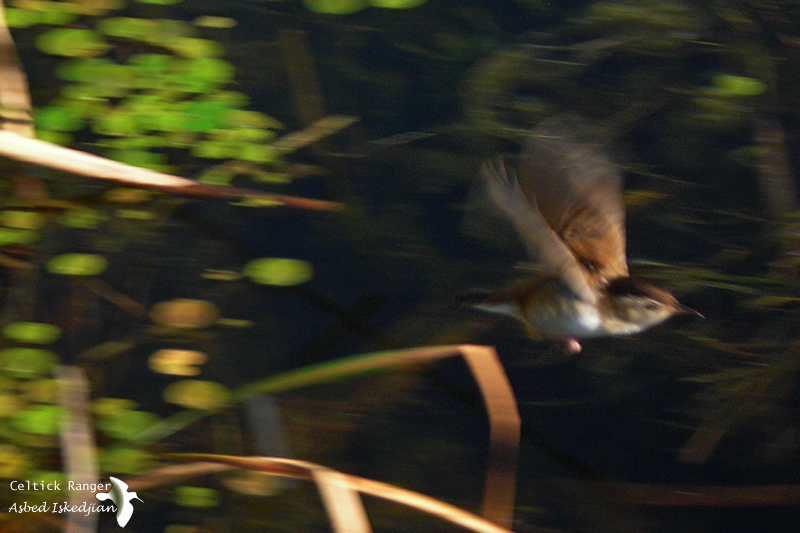 The Marsh Wren in-flight