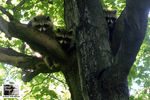 Title: Baby Raccoons