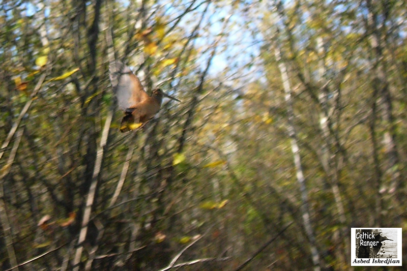The American Woodcock in take-off flight