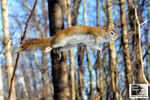 Title: A Devil named American Red Squirrel !Nikon D5100