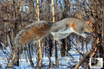 Title: An Acrobat named Eastern Grey Squirrel !Nikon D5100