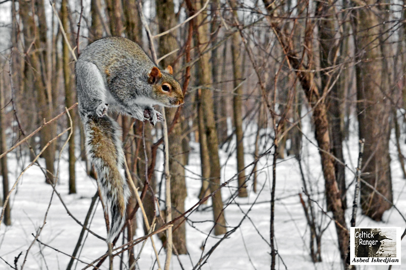 The jumping Grey Squirrel !
