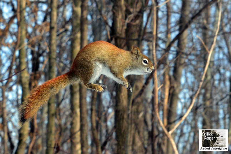 The jumping Red Squirrel !