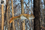 Title: The jumping Red Squirrel !Nikon D5100