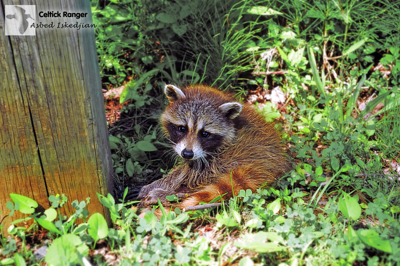 Photo #888 : Orphan Baby Raccoon