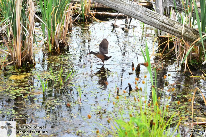 The Virginia Rail moving over marshes