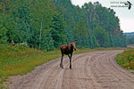Title: Moose in a forest road