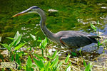 Title: The Great Blue Heron