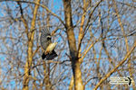 Title: White-Breasted Nuthatch