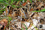 Title: American Woodcock chicks