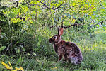 Title: Eastern Cottontail Rabbit
