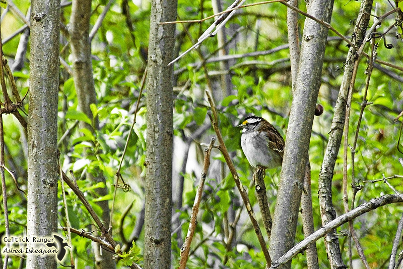 The White-throated Sparrow