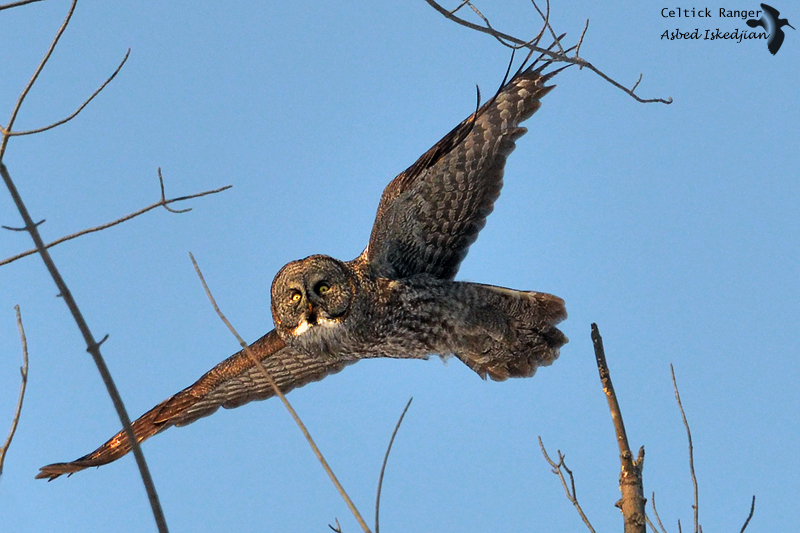 Eye-contact with the Great Gray Owl