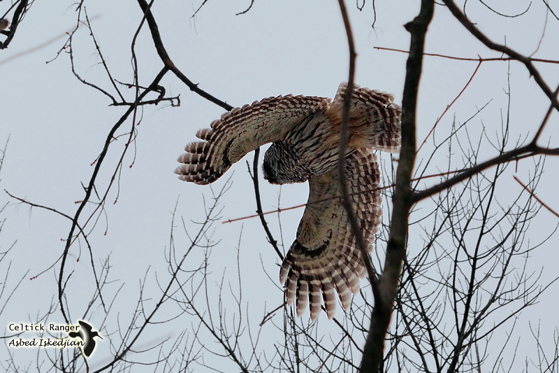 #999 - The Barred Owl in-flight