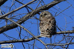 Title: The Barred Owl