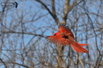Title: The Northern Red Cardinal in-flightNikon D5100