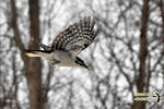 Title: The Hairy Woodpecker in-flightNikon D5100