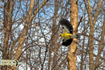 Title: The American Goldfinch in-flightNikon D5100