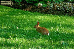Title: Happy Easter with the Eastern Cottontail