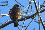 Title: The Sharp-shinned Hawk