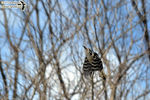 Title: Fly, fly high, Downy Woodpecker