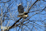 Title: The Hairy Woodpecker in-flight