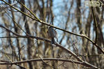 Title: Golden-crowned Kinglet's landing flight