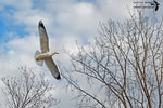 Title: Flight of the Ring-billed Gull