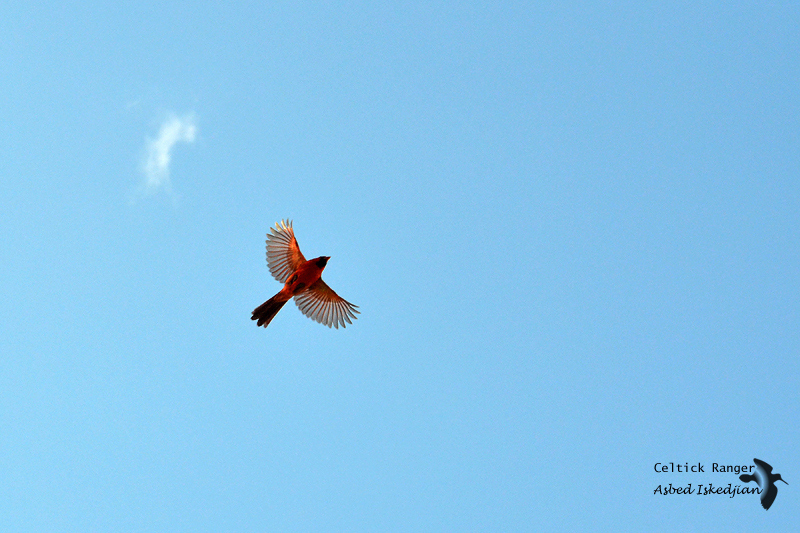 Fly, fly high, Northern Cardinal
