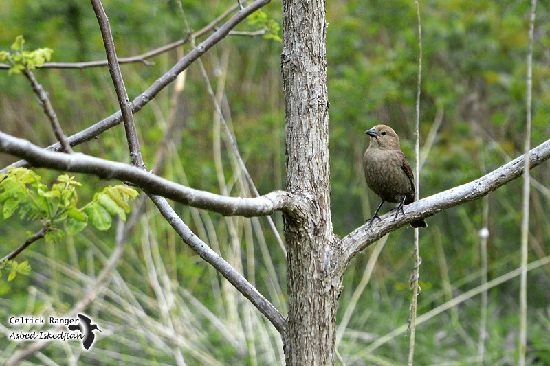 Female of the Brown-headed Cowbird