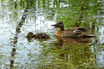 Title: Mommy and duckling in the reflections