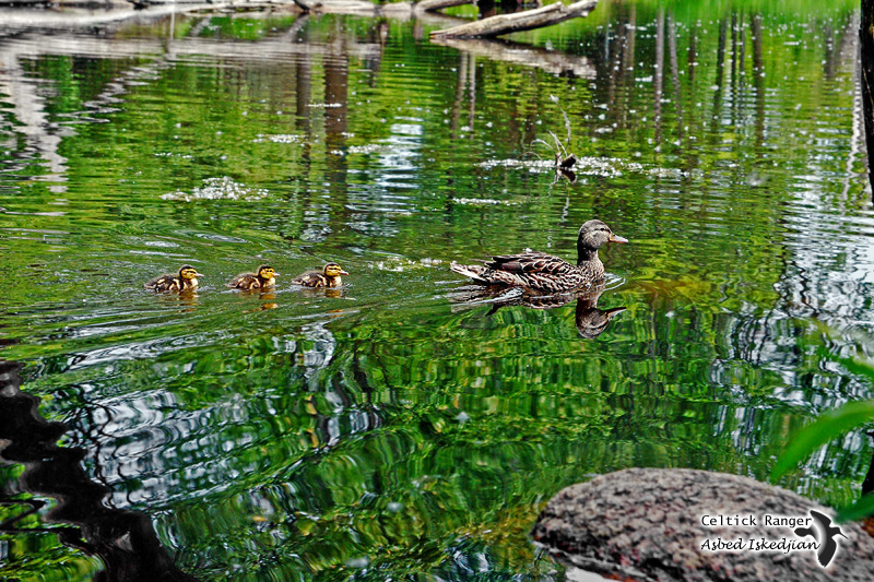 Mallard family in the reflections