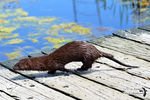Title: Close encounter with the Mink