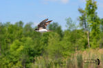 Title: The Tree Swallow in-flight