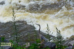 Title: Great Blue Heron in the river rapids