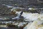 Title: The Heron flying over the river rapids