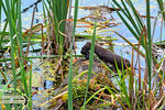 Title: The American Mink with its prey