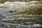 Title: Mallard Duck on tumultuous water