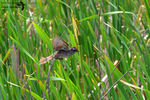 Title: The Swamp Sparrow in-flight