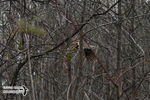 Title: Ruffed Grouse's woody environmentNikon D5100